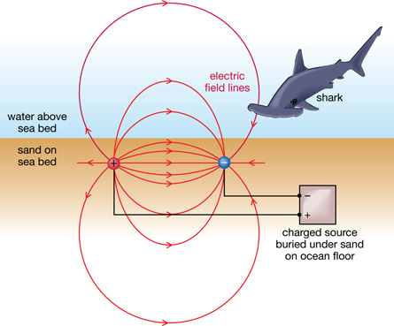 a study on the response of sharks and rays to weak electric fields Several variables were recorded and used to assess the behavioural response of sharks to the electric electric sense of sharks and rays weak electric fields.